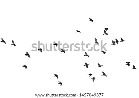 Flocks of flying pigeons isolated on white background. Clipping path. #1457049377