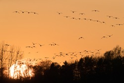 Flocks of geese fly toward the setting sun in the orange colred sunset sky
