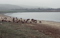 Flocks of sheep by the lake against the background of residential houses of the village, morning fog