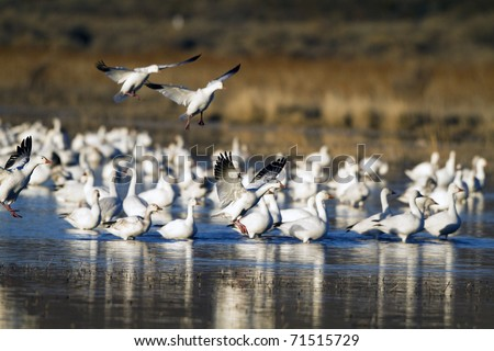 Flocks of Snow Geese winter at Bosque del Apache National Wildlife Refuge in New Mexico