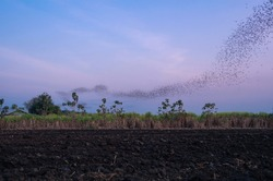 flog of bats fly over agriculture field seeking for food in evening silhouette on twilight sky