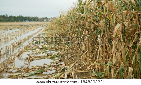 Flood corn mold blight maize yellow ears plants field damaged flooded water mud plantation damage catastrophe crops harvest mildew ear Zea mays green disaster calamity losses fall autumn, spill river Сток-фото ©