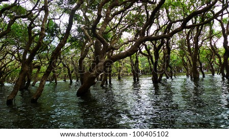 Flooded forest of mangrove trees at Kompeng Phhluk, near Siem Reap, Cambodia