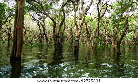 Flooded forest of mangrove trees at Kompeng Phhluk, near Siem Reap, Cambodia