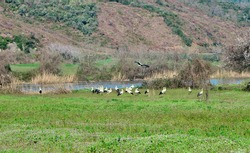 floodplain forest in Karacabey Bursa many and groups of birds pelicans black and white stork on green agricultural field near the river and trees.