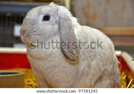 floppy eared rabbit in barn