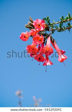Shutterstock Flor del Inca (