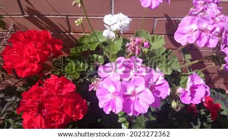 Flor gitanilla o flores del pescado muy populares en Andalucía donde se ven los colores blancos, rojos, lilas y verdes desde el amanecer en mi terraza iluminada por el sol de la mañana en verano Foto stock ©