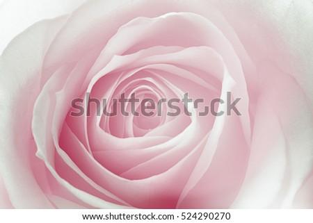 Shutterstock FLOR ROSA MACRO EFFECT VINTAGE