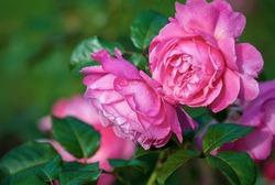 Flora Colonia rose (Kolner Flora) pink shrub rose blooming in the garden, closeup