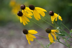 Flora Leaning Drooping Black Eyed Susan Group Bunch Afternoon
