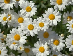 Flora of Gran Canaria -  Argyranthemum, marguerite daisy endemic to the Canary Islands