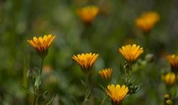 Flora of Gran Canaria -  Calendula arvensis, field marigold natural macro floral background