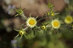Flora of Gran Canaria - Pallenis spinosa, Spiny Starwort or Spiny Golden Star flower natural macro floral background