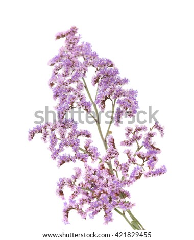 Flora of Gran Canaria - small papery lilac flowers of  Limonium pectinatum, endemic to Canary Islands,  isolated on white background #421829455