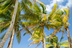 Flora. Tropical palm trees with beautiful green leaves and coconuts in  the beach.