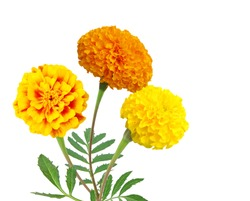 Floral arrangement of marigold flowers bunch isolated white