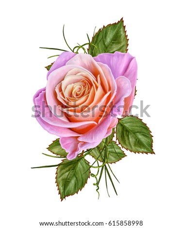 Floral background. A bud of a beautiful pink rose and green leaves. Isolated on white background.