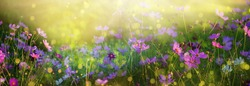 floral background. landscape with pink white flowers cosmea evening bright sun bokeh rays. long banner hd