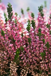 Floral background made of blossoming Heather flowers common known as Callluna Vulgarus with bokeh effect. Vertical format