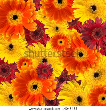 Floral background made of colorful gerberas