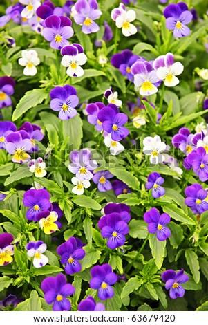 Floral background of blooming purple pansies flowers