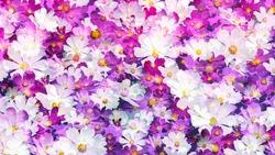 floral background of cosmos flowers white pink dark pink purple