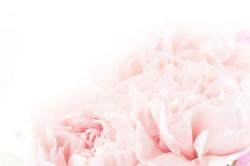 floral background of pink carnation flowers