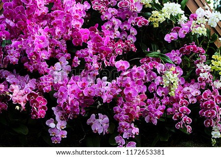 Floral Background. Phalaenopsis orchid (moth orchids) pink and white flowers blooming in the garden. Green orchid leaves.