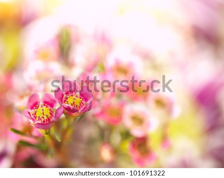 Floral background. Pink flowers (alyssum).