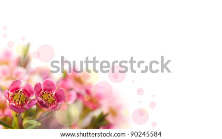 Floral background. Pink flowers (alyssum) isolated on white background.