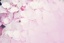 Floral background pink hydrangea flowers (soft color style)