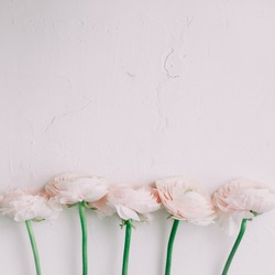 Floral background. Pink Ranunculus on a white background. Romantic background for wedding and birthday invitations and greeting cards. Spring wallpaper. Womens day concept. copy space.