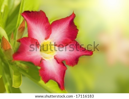 Floral background. Tropical flower Pink Adenium. Desert rose.