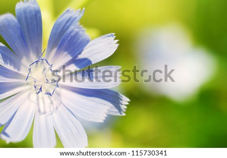 Floral background with blue chicory flower