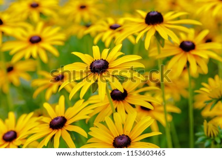 Floral background with bright yellow daisies on natural background. Rudbeckia in the garden. Yellow-brown flowers with outstanding seed at the center of a dark color