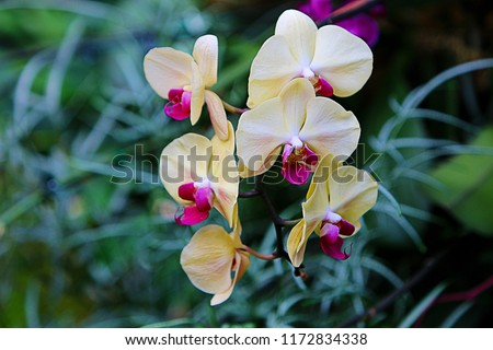 Floral Background. Yellow Phalaenopsis with Red Tip orchid (moth orchids) flowers blooming in the greenhouse. Green orchid leaves.