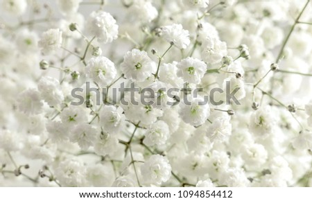 Floral beautiful light background. Small white flowers. Flowers Gypsophila.