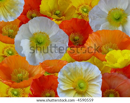 floral beauty the poppy - stock photo