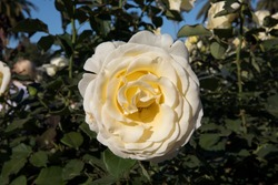 Floral. Bouquet rose. Closeup view of beautiful Rosa Elina big flower of light yellow and white petals spring blooming in the garden.