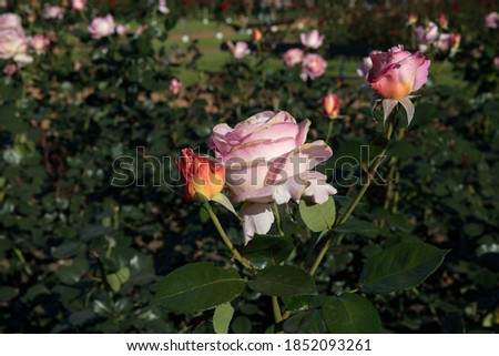 Floral. Colorful roses blossom in the garden. Closeup view of beautiful Floribunda Rosa Elle green leaves, buds and flowers of light pink and yellow petals, spring blooming in the park. Stock fotó ©