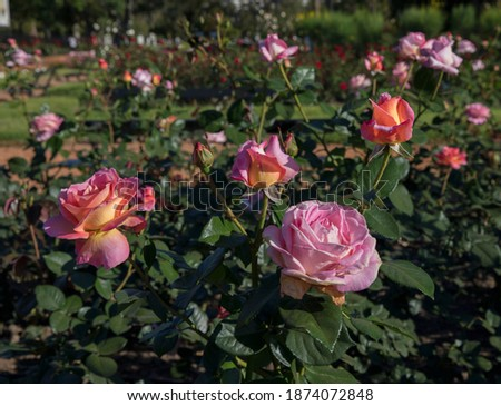 Floral. Colorful roses blossom in the garden. Closeup view of beautiful Floribunda Rosa Elle green leaves, buds and flowers of pink, yellow and red petals, spring blooming in the park. Stock fotó ©
