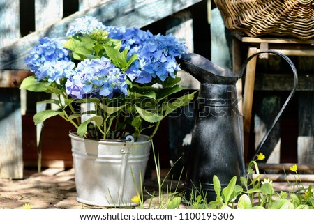 Floral composition with Hydrangea in vintage zinc bucket, pitcher for water on aged fence background, natural light and shadows, garden scene, warm spring day