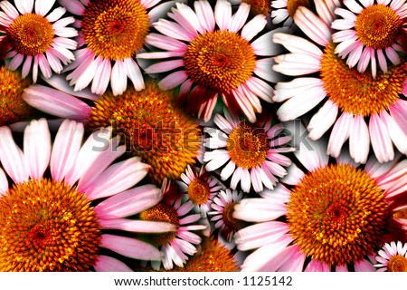 Floral concept image of herbal/medicinal Purple Cone Flowers (Echinacea).