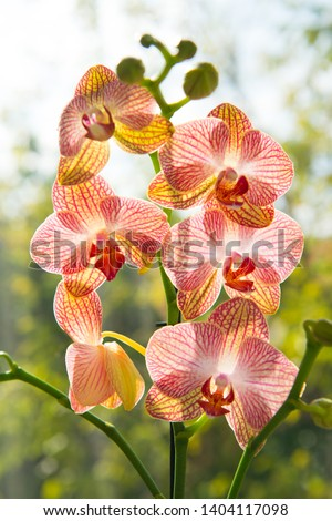 Floral concept. Orchid growing tips. How take care of orchid plants indoors. Most commonly grown house plants. Orchids blossom close up. Orchid flower pink and yellow bloom. Phalaenopsis orchid. #1404117098