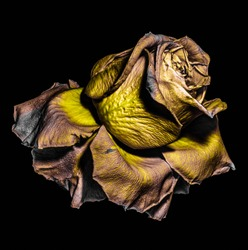 Floral fine art color macro of a single isolated  aged fading yellow golden brown rose blossom, metallic detailed texture on black background in vintage surreal painting style, fantastic realism