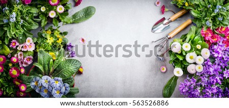 Floral gardening background with variety of colorful garden flowers and gardening tools on concrete background, top view, place for text, banner #563526886