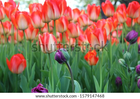 floral Images from Albany ny tulip fest Stock fotó ©