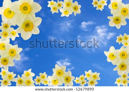 floral narcissus background over blue sky