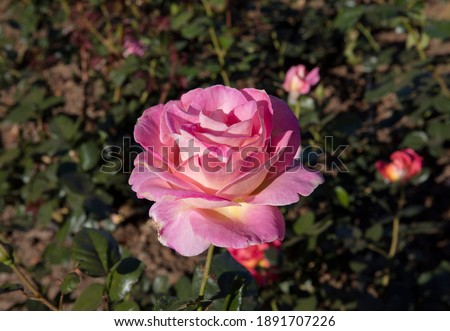 Floral. Roses blossom in the garden. Closeup view of beautiful Floribunda Rosa Elle green leaves and flower of light pink petals, spring blooming in the park. Stock fotó ©